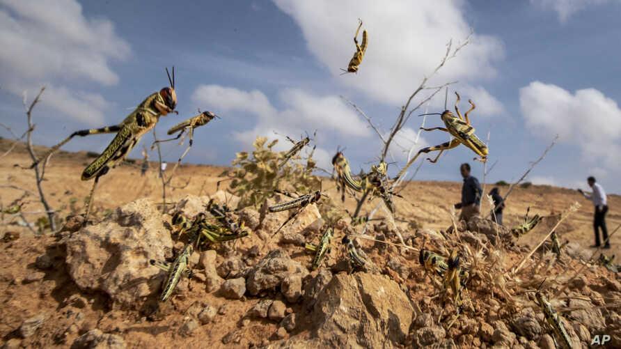 Outside Mogadishu, locusts turn farmland into desert ...